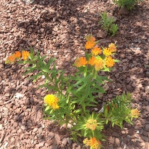 Planting a Colossal Monarch Waystation