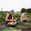 Lafayette College's LaFarm student workers preparing their onion harvest for distribution