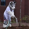 The Husky mascot lends a hand at the Arbor Day tree planting at UConn's annual Earth Day Spring Fling #earthday #uconn #livegreenbleedblue
