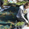 Sarah Green helps install a student-funded rain garden at Indiana University in Bloomington