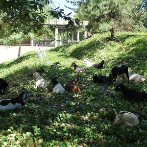 Goats Eating Ivy