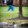 A pair of feathered friends enjoys our campus' green infrastructure on a rainy spring day.