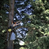 A researcher from Portland State University climbs a tree in the early morning to collect samples