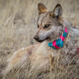 Mexican Grey Wolf Research and Annual Count
