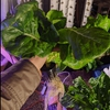 Head of lettuce from the CropKing NFT system