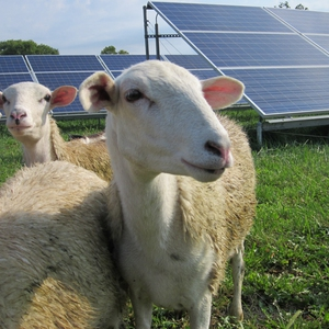 Solar Sheep at Antioch College