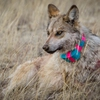 #2  When the wolves are released, they typically rejoin with their packs quickly, veterinarian Susan Dicks said. The results of the latest aerial survey show 22 Mexican gray wolf packs living in eastern Arizona and western New Mexico.