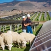 Sheep Grazing at the Cal Poly Gold Tree Solar site.