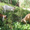 A small group of goats is seen eating ivy from a hillside.