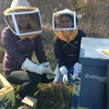 Kira Liu '17, left, and Emily Sylvestre '16, right, winterizing the bee hives with Pollinate Minnesota staff at Macalester College's Katharine Ordway Natural History Study Area. The photo was taken when Emily was working on the pollinator friendly resolution.